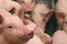 Pestă porcină la ferma Danbred din comuna Slobozia