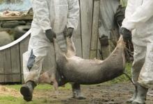 E oficial! Pestă porcină în Argeş